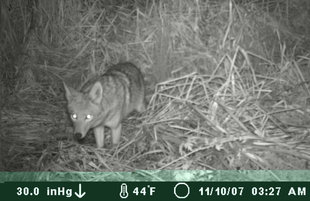 Coyote Nov 2007